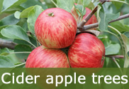 Cider apple trees for sale