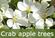 Crab apple trees for sale