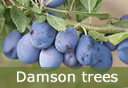Damson trees for sale
