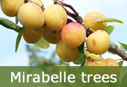 Mirabelle trees for sale