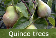 Quince trees for sale