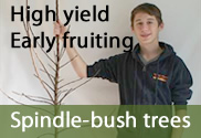 Spindle-bush commercial grade fruit trees