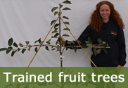 Espalier and fan-trained fruit trees for sale