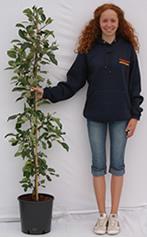 Photo of cordon-trained apple tree