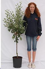 Photo of bush apple tree