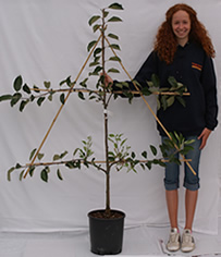 Photo of Espalier-trained fruit tree