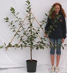Photo of Fan-trained fruit tree