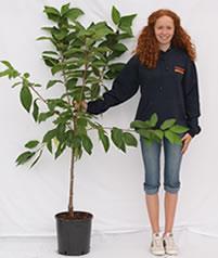Photo of bush cherry tree