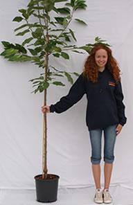 Photo of half-standard cherry tree