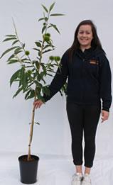 Photo of chestnut tree