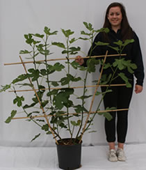Photo of fan-trained fig tree
