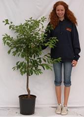 Photo of mirabelle tree