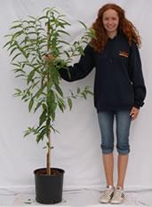 Photo of nectarine tree