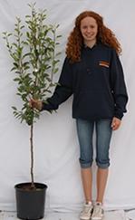 Photo of bush pear tree