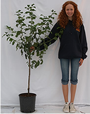Photo of bush plum tree