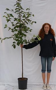 Photo of half-standard quince tree